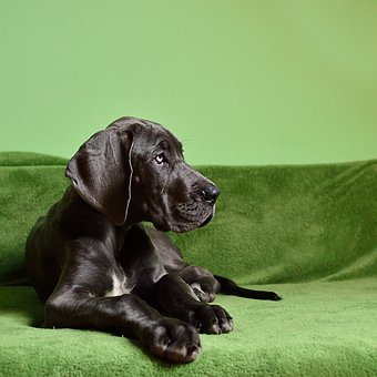a-black-great-dane