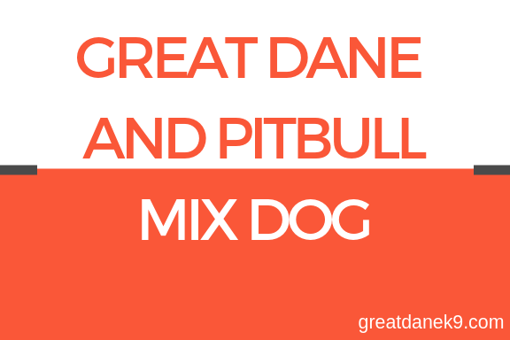 greatdane-and-pitbull-mix-dog