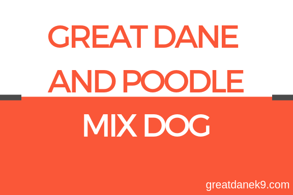greatdane-and-poodle-mix