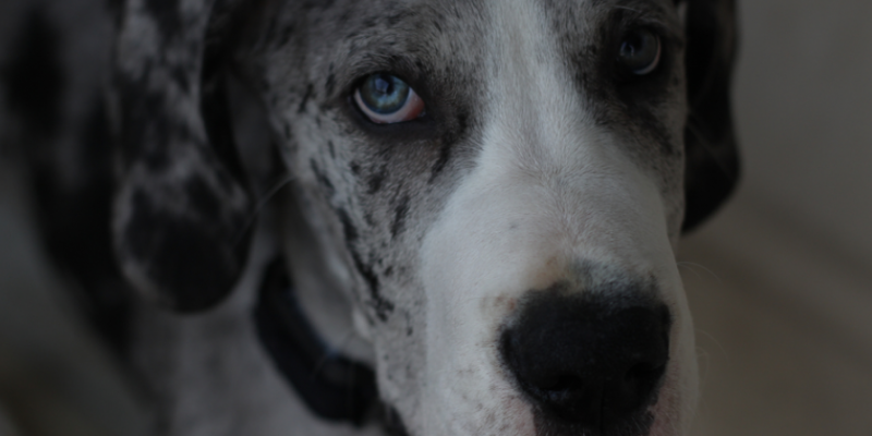 blue-merle-dane