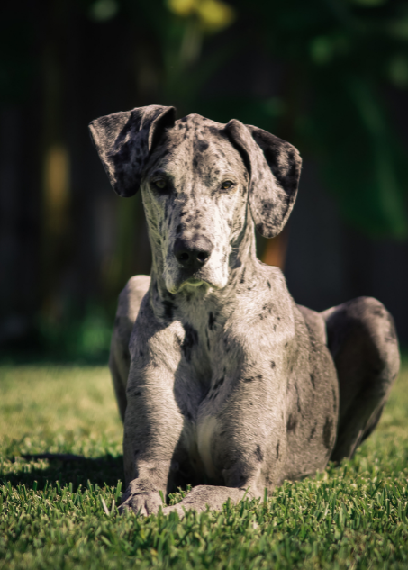 merle-great-dane